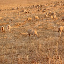 Sheep grazing in a Landscape