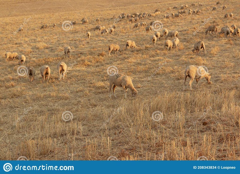 Sheep grazing in landscape